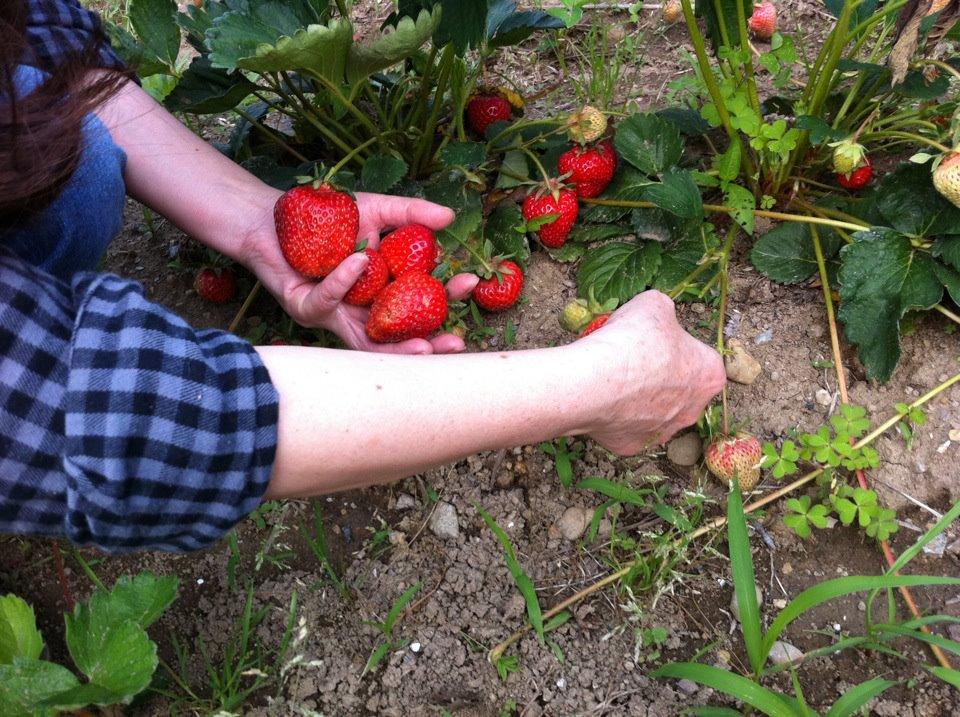 イチゴ刈り